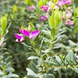 Πολυγαλάς - Polygala Myrtifolia