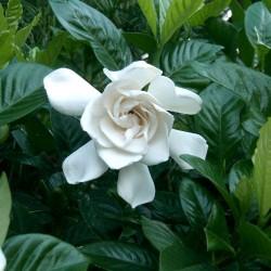 Γαρδένια - Gardenia Jasminoides