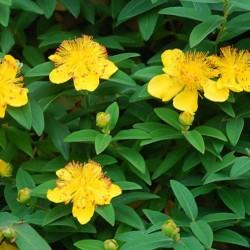 Υπέρικο - Hypericum Calycinum