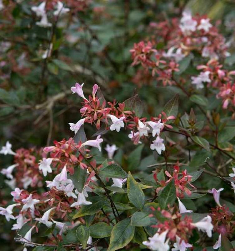 Αμπέλια - Abelia Grandiflora