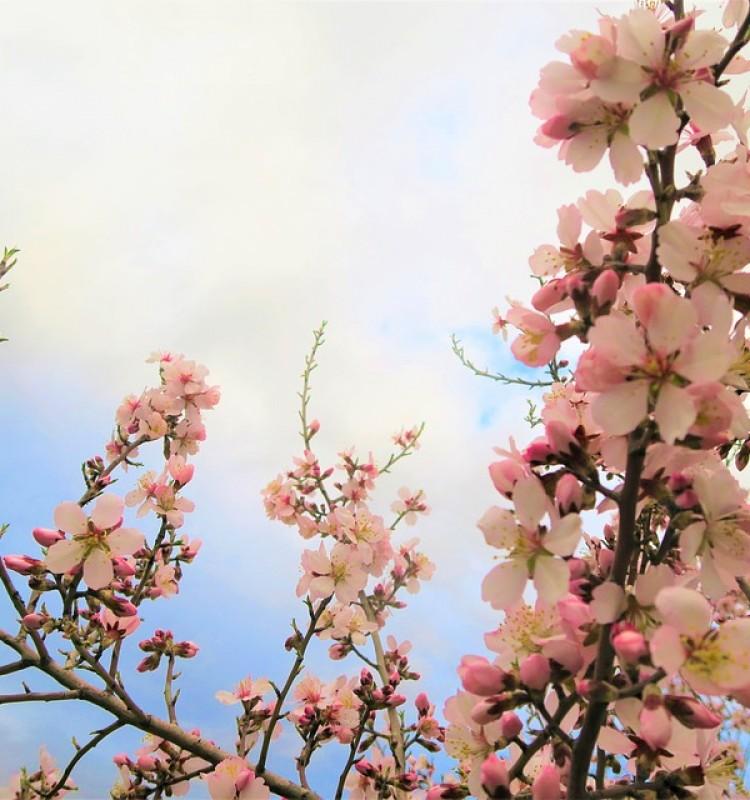 Αμυγδαλιά - Prunus Amygdalus