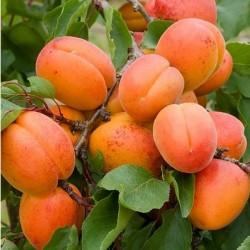 Βερικοκιά - Prunus Armeniaca
