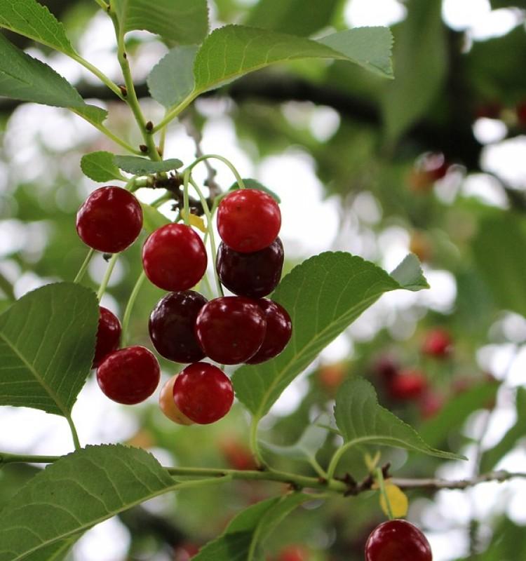 Βυσσινιά - Prunus Vulgaris