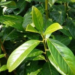 Δαφνοκέρασο - Prunus Laurocerasus