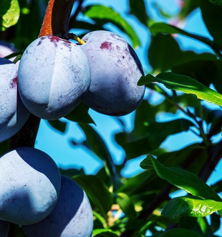 Δαμασκηνιά - Prunus Domestica