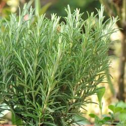 Δενδρολίβανο - Rosmarinus Officinalis