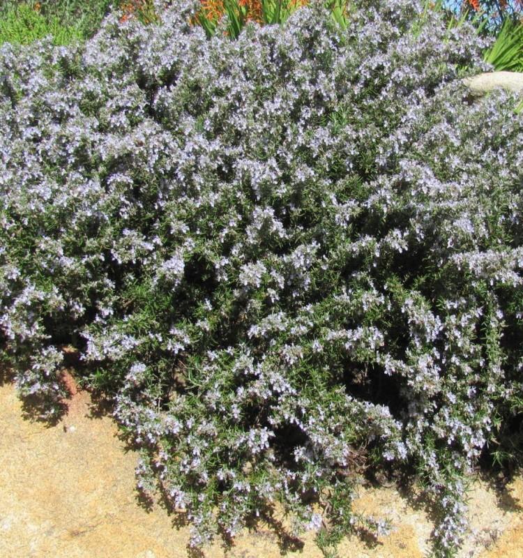 Δενδρολίβανο Έρπων -Rosmarinus Officinalis Prostratus