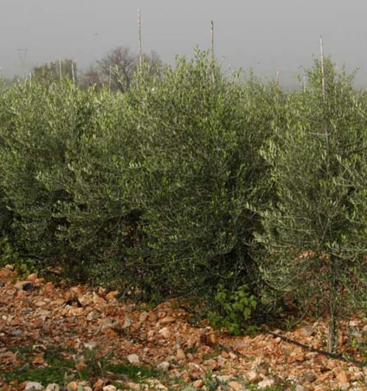 Ελιά Ισπανική Αρμπεκίνα - Olive Tree Arbequina