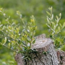 Ελαιόδεντρα - Olea Europaea