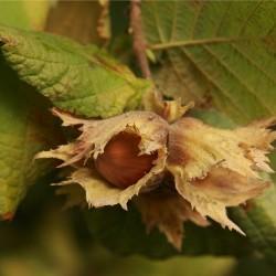 Φουντουκιά - Corylus Avellana