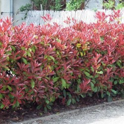 Φωτίνια - Photinia Fraseri Red Robin