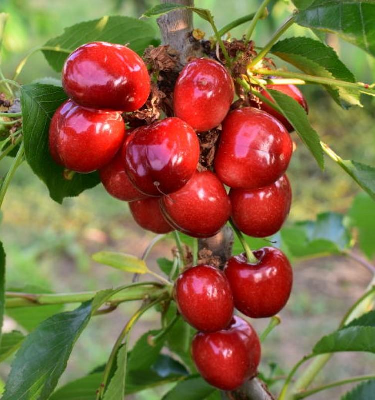 Κερασιά - Prunus Avium