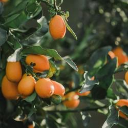 Κουμκουάτ - Citrus Japonica