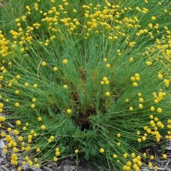 Λεβαντίνη Πράσινη - Santolina Rosmarinifolia