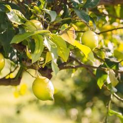 Λεμονιά - Citrus Limon