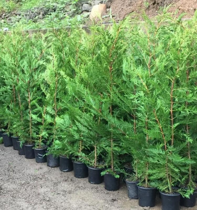 Λέϋλαντ - Leyland Cypress