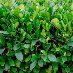 Λιγούστρο - Ligustrum Japonicum