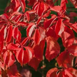 Αμπέλοψις - Parthenocissus quinquefolia