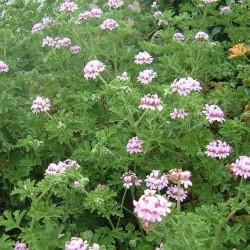 Αρμπαρόριζα - Geranium Roseum