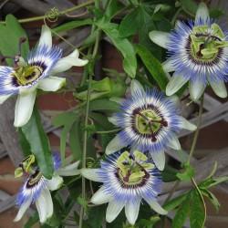 Πασιφλόρα Ρολογιά - Passiflora Incarnata
