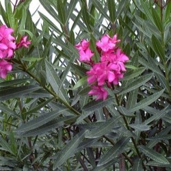 Πικροδάφνη - Nerium Oleander