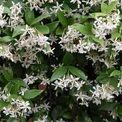 Γιασεμί Ρυγχόσπερμα - Rhynchospermum jasminoides
