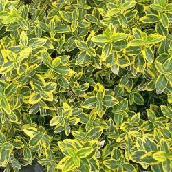 Ευώνυμο - Eyonymus Japonicus Elegant Aureus
