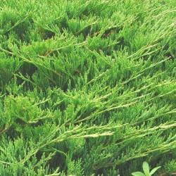 Γιουνίπερους - Juniperus