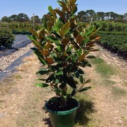 Μανώλια Αειθαλής - Magnolia Grandiflora Gallisoniensis
