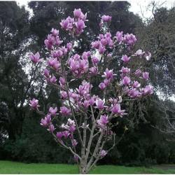 Μανώλια Φυλλοβόλος - Magnolia Soulangeana