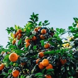 Μανταρινιά - Citrus Clementine