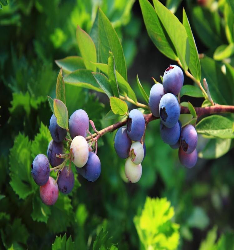 Μύρτιλο - Blueberry Vaccinium Myrtilus