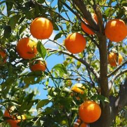 Πορτοκαλιά - Citrus Sinensis